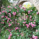 Les roses de Mai à Grasse