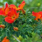 Les Roses Orangées......