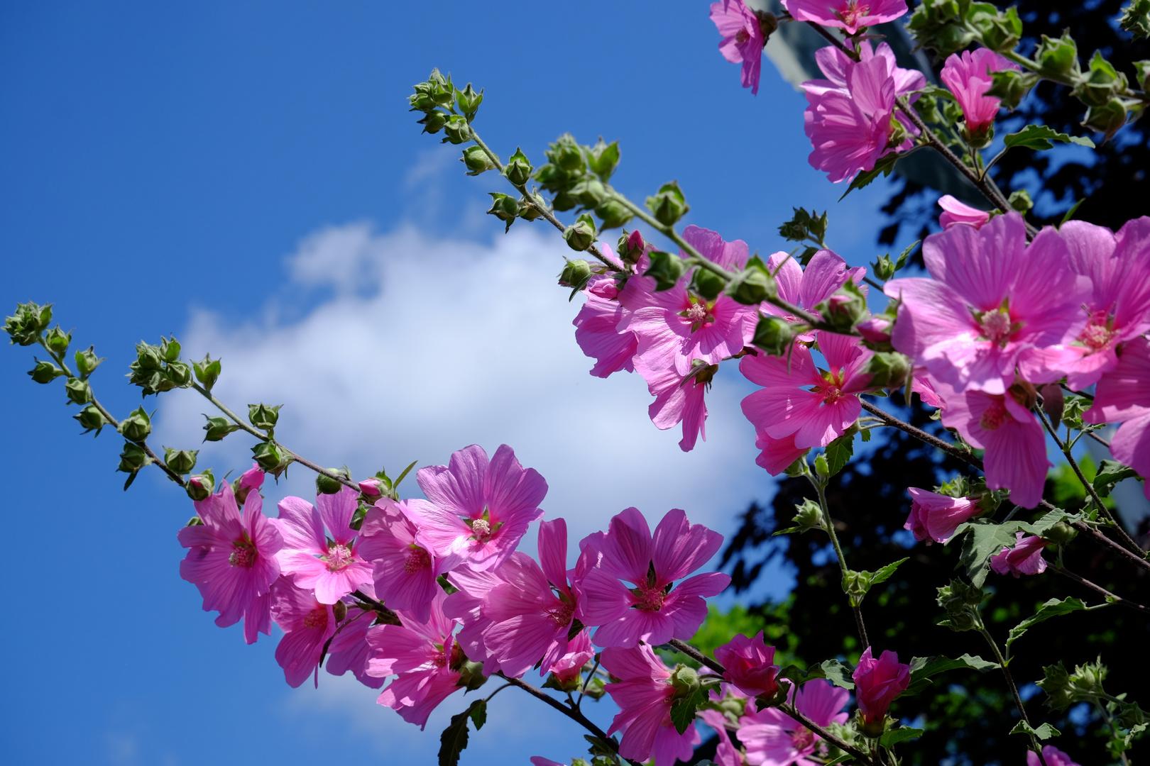 les roses trémières de ce dimanche