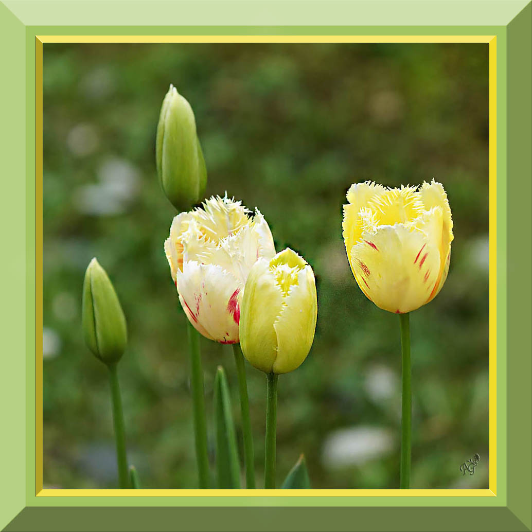Les tulipes .... au jardin