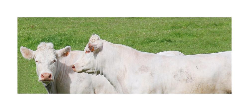 Les Vaches !!!