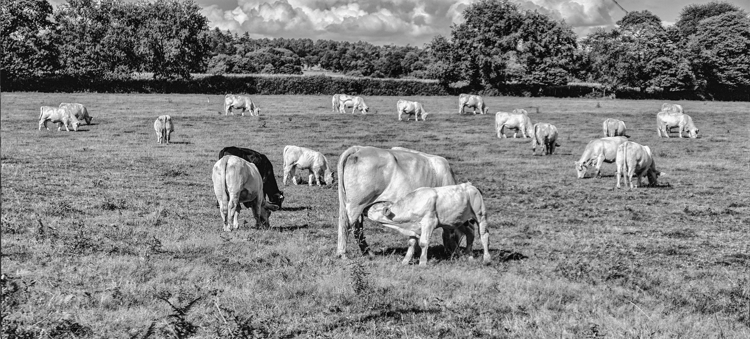- Les Vaches de Mijo -