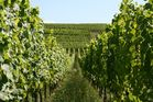 Les Vignes (Alsaces)