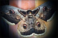 """les """"yeux"""" ( les ocelles ) de la phalène...."""