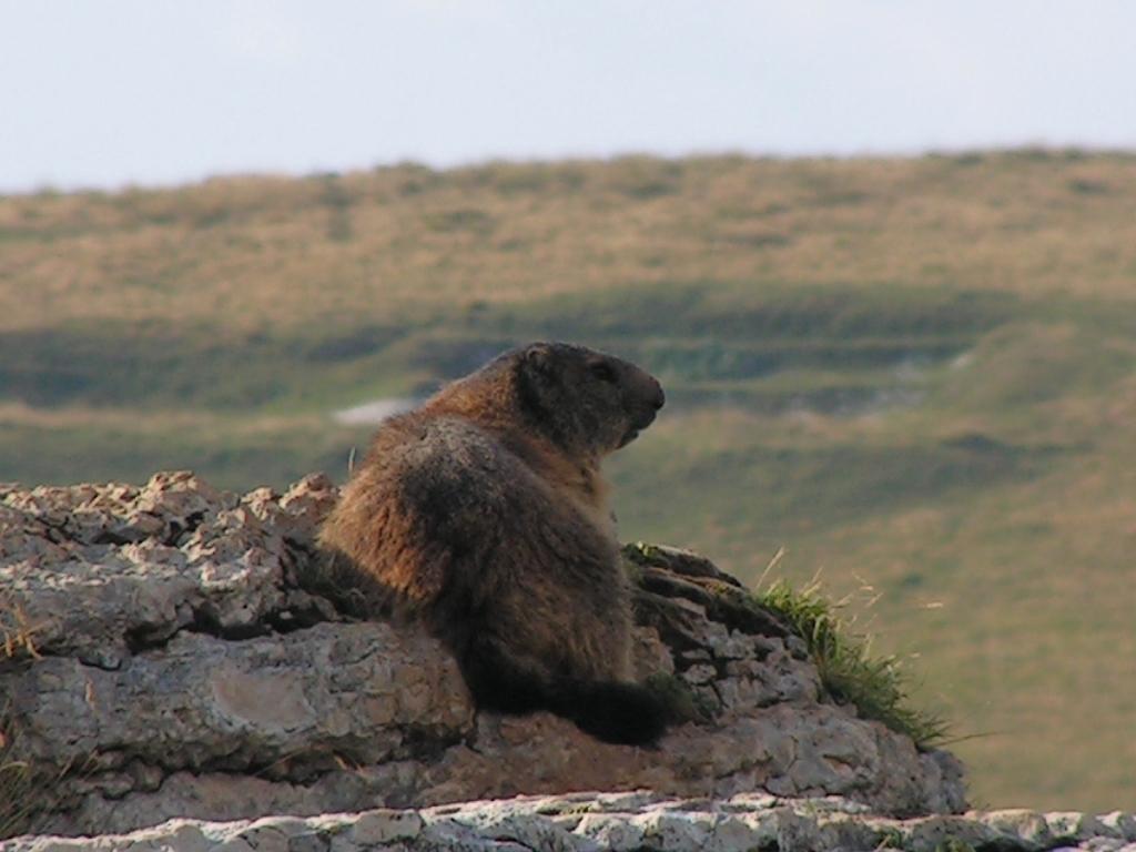 Lessinia - agosto 2012 - la marmotta vedetta -