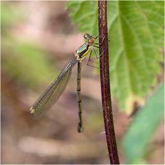 Leste vert femelle