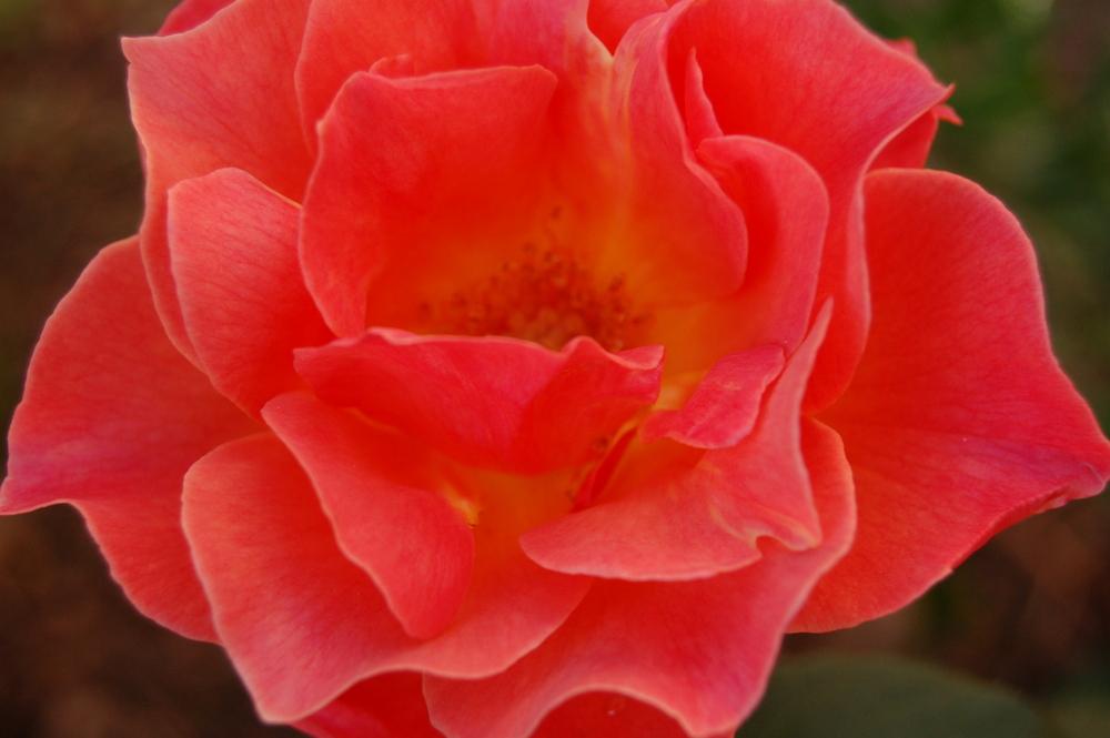 Lester Rose