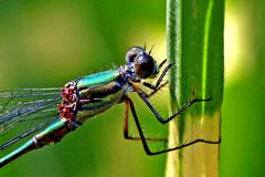 Lestes viridis - an - miscanthus sinensis strictus