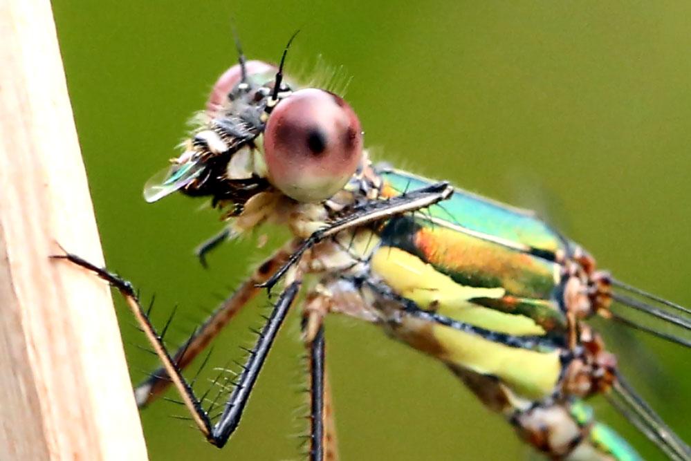 Lestes viridis - Beim Speisen ...