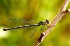Lestes viridis - grüßt alle fc'ler zum neuen Jahr -