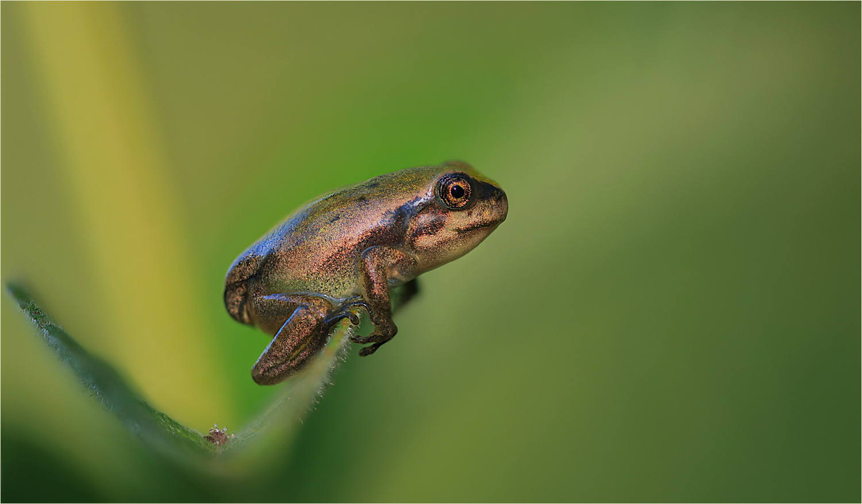Lethargy-Froggy….