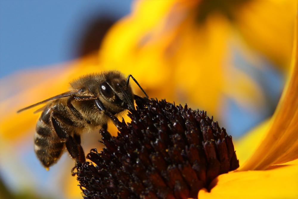 letzte Arbeitstage einer Biene
