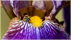 letzte Bienchen .....