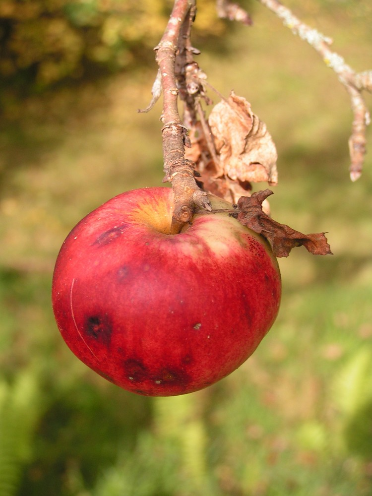 letzte Frucht