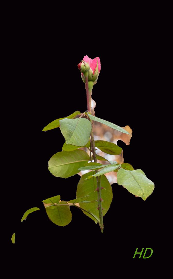 Letzte Gartenrose