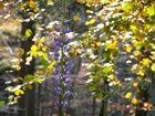 Letzte Lupine im Herbst