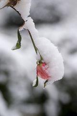 letzte Rose, eingepackt in Eis und Schnee.