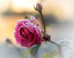 letzte Rose im Garten