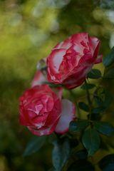 ...letzte Rosen...