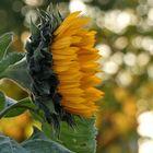 Letzte Sonnenblume auf dem Feld