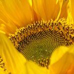 Letzte Sonnenblume vor dem Winter