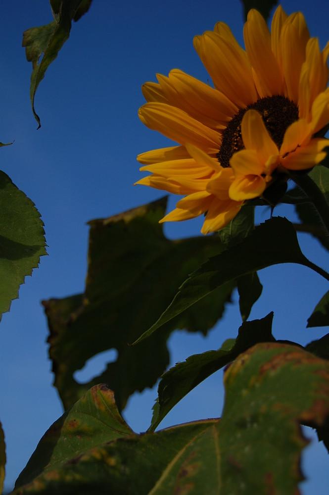 letzte Sonnenblumen