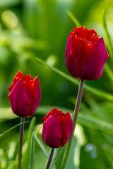 letzte Tulpen