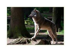 Letzter Wolf
