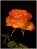 *Leucht*-Rose
