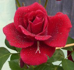 leuchtend rote Rose mit Tropfen