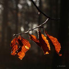Leuchtende Buchenblätter im dunklen Wald