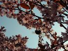 Leuchtende Kirschblüten