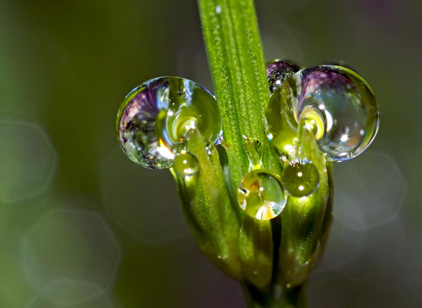 Leuchtende Perlen im morgendlichen Alpenparadies! - Des perles qui valent de l'or!