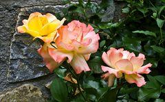 Leuchtende Rosen als Zierde einer kleinen Mauer!