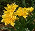 Leuchtende Tulpenpracht