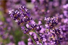 Leuchtender Lavendel...