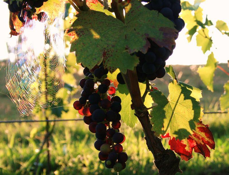 Leuchtender Wein