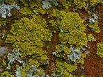 Leuchterflechte (Candelaria concolor)