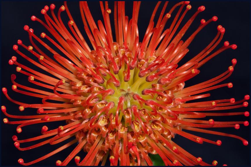 Leucospermum - Nadelkissen( Protea) die Sorte>>Tango Red>>