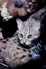 Kleinkatzen