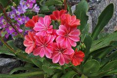 Lewisia cotelyedon - ...traumhafte Blüten