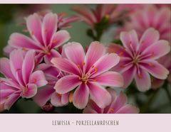 Lewisia - Porzellanröschen - Bitterwurz..