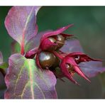 Leycesteria formosa - Fruchtstand
