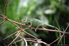 Lguanidae ...