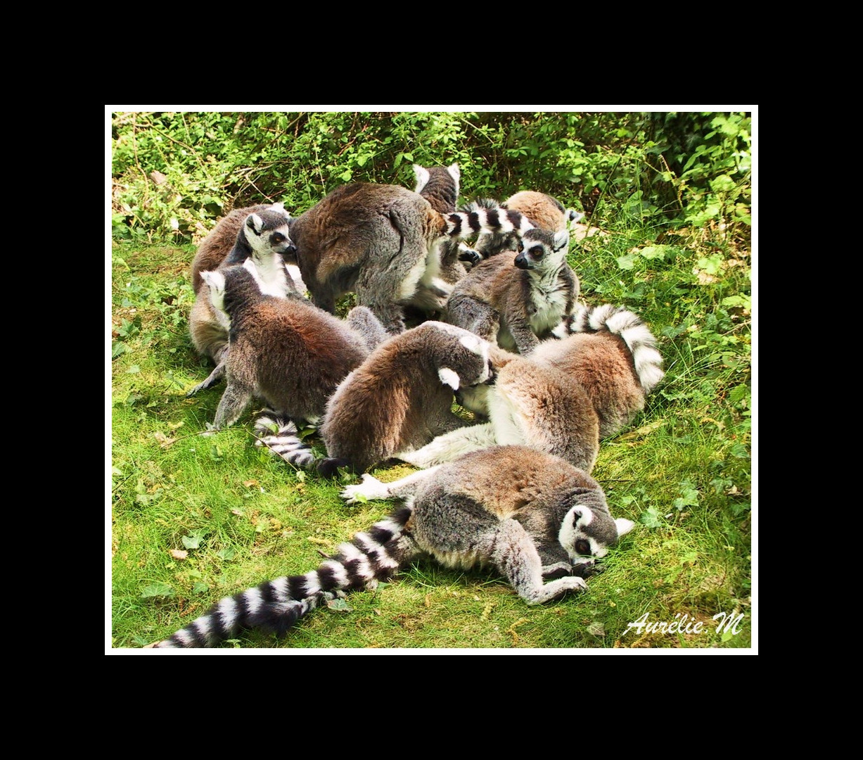 l'heure du dodo pour les lemuriens!