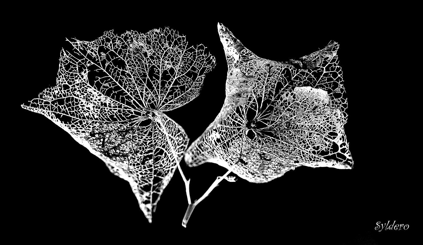 L'hortensia fané -2-