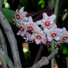 Li chiamano 'fiori di cera'.