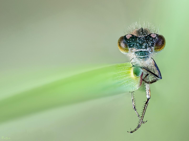 libellchen.....