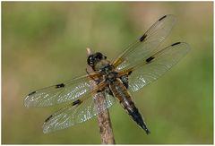 Libelle u. Schmetter