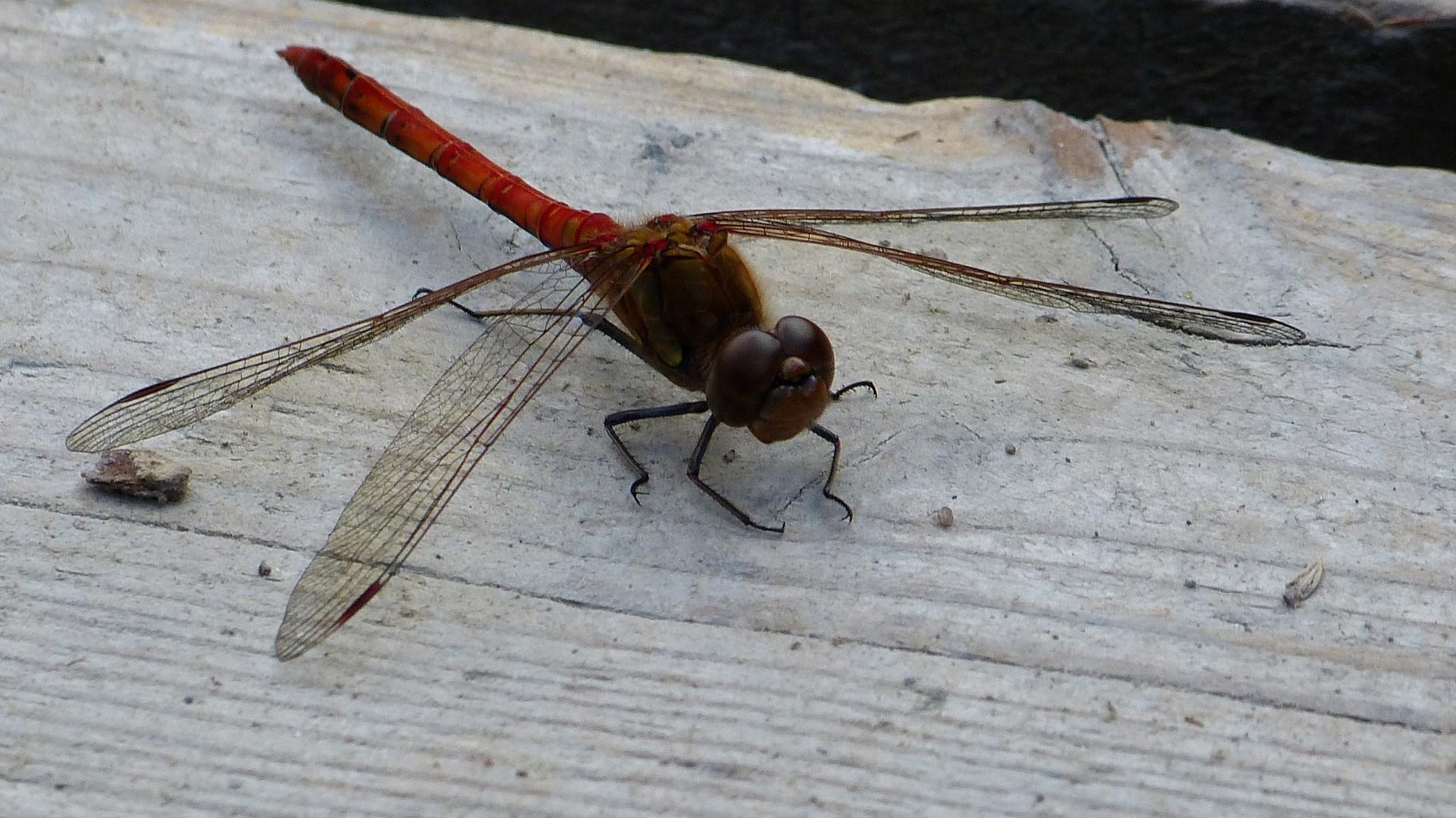 Libelle 30